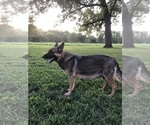 Small Photo #1 German Shepherd Dog Puppy For Sale in GARLAND, KS, USA