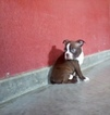 Boston Terrier Puppy For Sale in ARTHUR, IL, USA