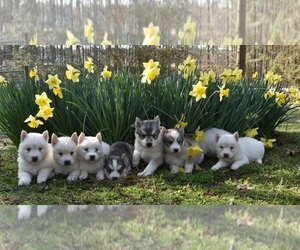 Siberian Husky Puppy for Sale in DINWIDDIE, Virginia USA