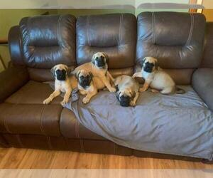 American Mastiff-Mastiff Mix Puppy for Sale in MARYVILLE, Tennessee USA