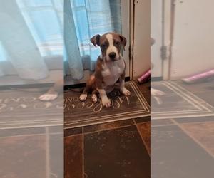 American Bully Puppy for sale in LOVINGSTON, VA, USA