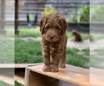 Small #4 Australian Labradoodle