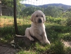 Golden Labrador Puppy For Sale in ASHLAND, OR, USA