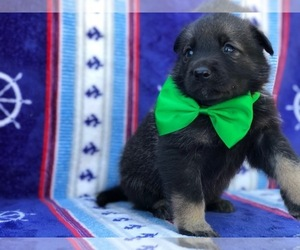 German Shepherd Dog Puppy for sale in LANCASTER, PA, USA