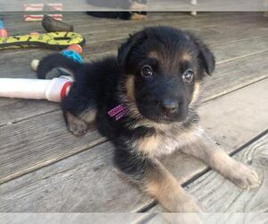 German Shepherd Dog Puppy for sale in WEST LINN, OR, USA