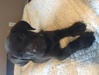 Labrador Retriever Puppy For Sale in GHENT, KY, USA