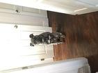 Presa Canario Puppy For Sale in SAINT LOUIS, MO,