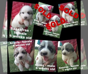 Great Pyrenees Puppy for Sale in HILLSVILLE, Virginia USA