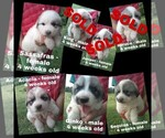 Great Pyrenees Puppy For Sale in HILLSVILLE, VA, USA