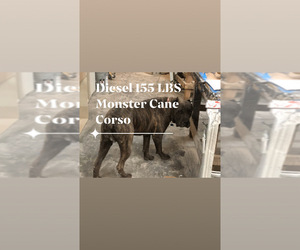 Father of the Cane Corso-Daniff Mix puppies born on 01/20/2020