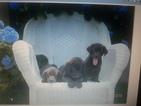 Labrador Retriever Puppy For Sale in BRADFORD, RI