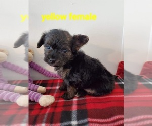 Morkie-Yorkshire Terrier Mix Puppy for Sale in HAMPTON, Virginia USA