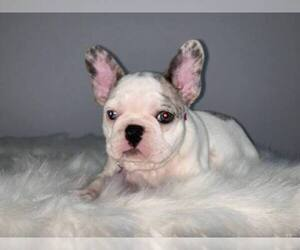 French Bulldog Puppy For Sale in MADISON SQUARE STA, NY, USA