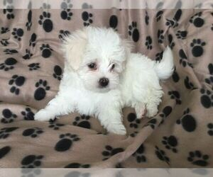 Maltese-Poodle (Toy) Mix Puppy for sale in MANKATO, MN, USA