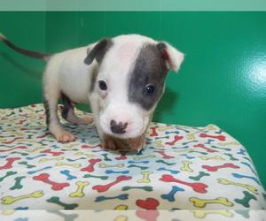 American Bulldog Puppy for sale in PATERSON, NJ, USA