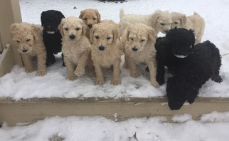 Poodle (Standard) Puppy For Sale in FLUSHING, MI, USA
