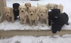 Poodle (Standard) Puppy For Sale in FLUSHING, MI,