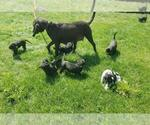 Small #16 Labrador Retriever-Majestic Tree Hound Mix
