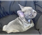 Small Photo #3 French Bulldog Puppy For Sale in LOX, FL, USA