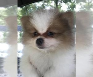 Pomeranian Puppy for Sale in DARTMOUTH, Massachusetts USA