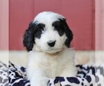 Small #3 Bernedoodle