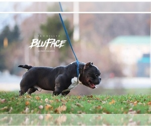 Father of the American Bully puppies born on 02/06/2021