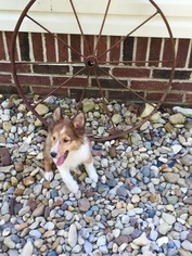 View Ad Shetland Sheepdog Litter Of Puppies For Sale Near Ohio