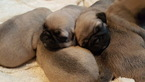 Pug Puppy For Sale in CLEBURNE, TX