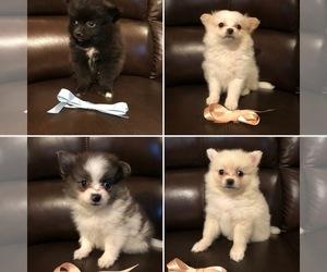 Pomeranian Puppy for sale in BATTLE GROUND, WA, USA