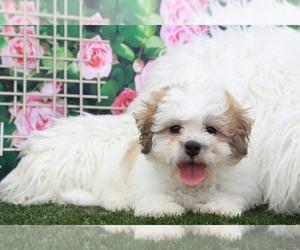 Zuchon Dog for Adoption in MARIETTA, Georgia USA