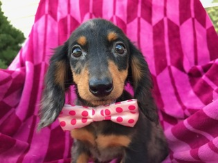 View Ad Dachshund Puppy For Sale Pennsylvania Quarryville Usa