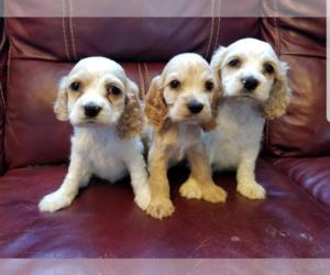 Cocker Spaniel Puppy for sale in SAN DIEGO, CA, USA