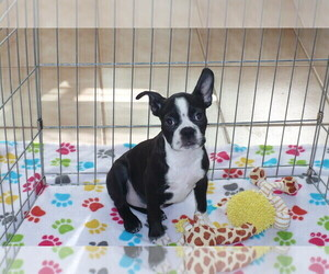 Boston Terrier Puppy for Sale in ORO VALLEY, Arizona USA