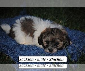 Zuchon Puppy for sale in HOPKINSVILLE, KY, USA