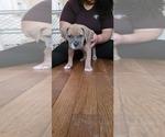 Puppy 8 American Bandogge