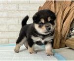 Small #7 Shiba Inu