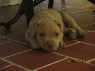 American Pit Bull Terrier Puppy For Sale in VERO BEACH, FL, USA