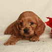 Cocker Spaniel-Poodle (Miniature) Mix Puppy For Sale in GAP, PA, USA