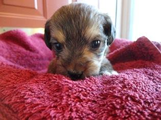 Pink · Yorkie-Poo Puppy For Sale near 28078, Huntersville, NC, USA