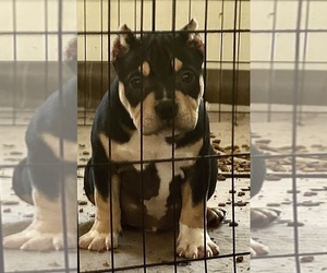 American Bully Mikelands  Puppy for sale in FALMOUTH, VA, USA