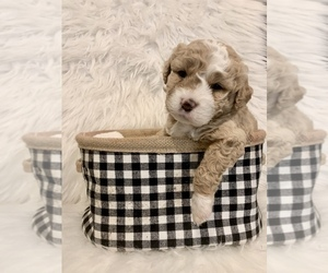 Bernedoodle-Miniature Bernedoodle Mix Puppy for Sale in CHESILHURST, New Jersey USA