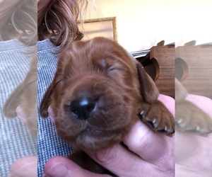 Irish Setter Puppy for sale in MERIDIAN, ID, USA