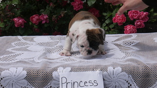 English Bulldogge Puppy For Sale in MUNFORDVILLE, KY, USA