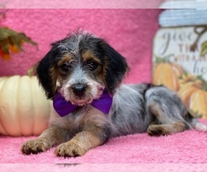 Poogle Puppy for sale in LANCASTER, PA, USA