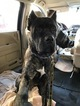 Cane Corso Puppy For Sale in BROOKLYN, NY