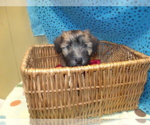 Soft Coated Wheaten Terrier Dog for Adoption in PATERSON, New Jersey USA