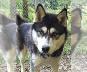 Father of the Siberian Husky puppies born on 10/21/2020