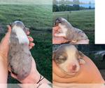 Small #5 Miniature Australian Shepherd