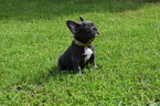 French Bulldog Puppy For Sale in IVA, SC, USA