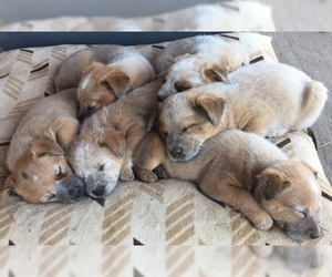 Australian Cattle Dog Puppy for sale in TIJERAS, NM, USA